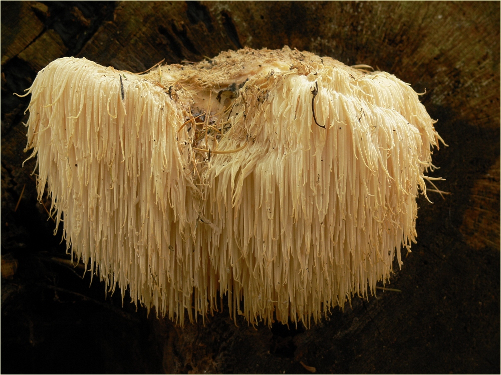 Where to buy lion mane mushroom