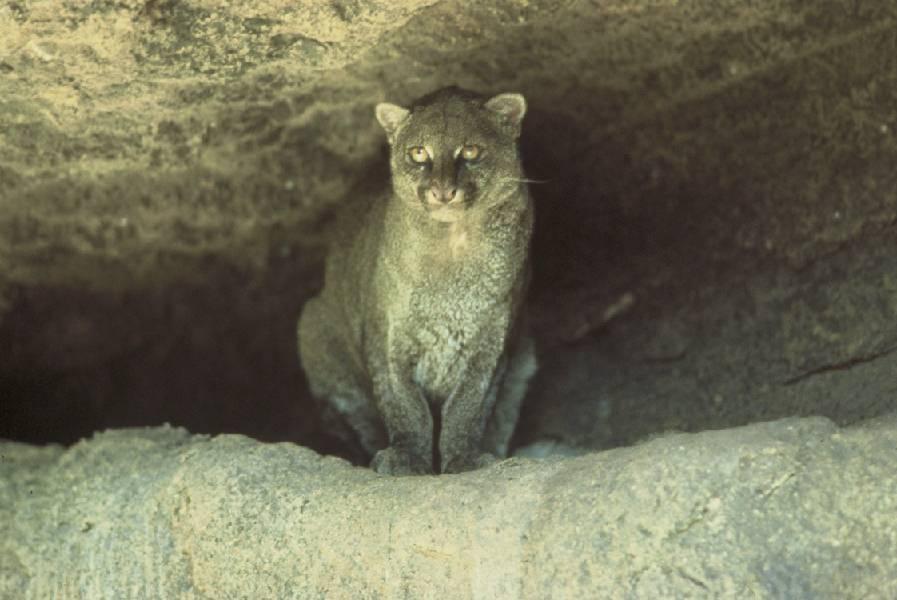 Ofnov , anyonejaguarundi facts Videos on jaguarundi ufos, nwo,