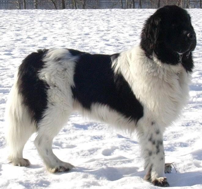 Big Dog Breeds Usa