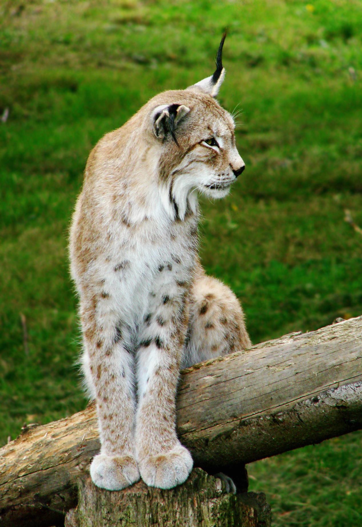 Cats Pets Extinction