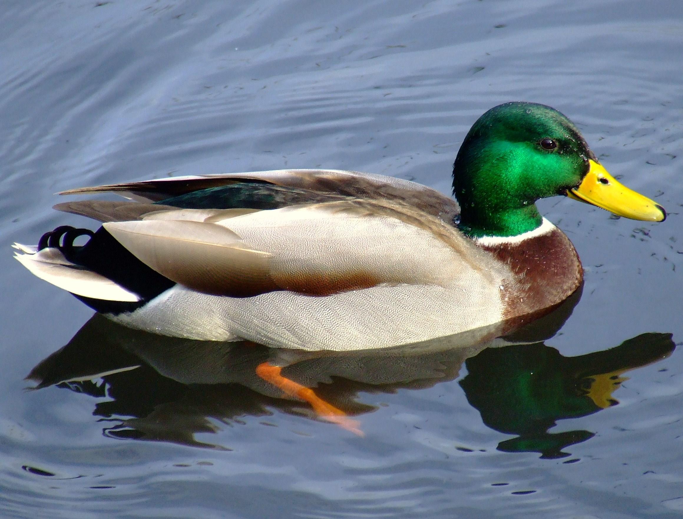 ... Ente , schwimmt wie eine Ente, quakt wie eine Ente: Das ist eine Ente