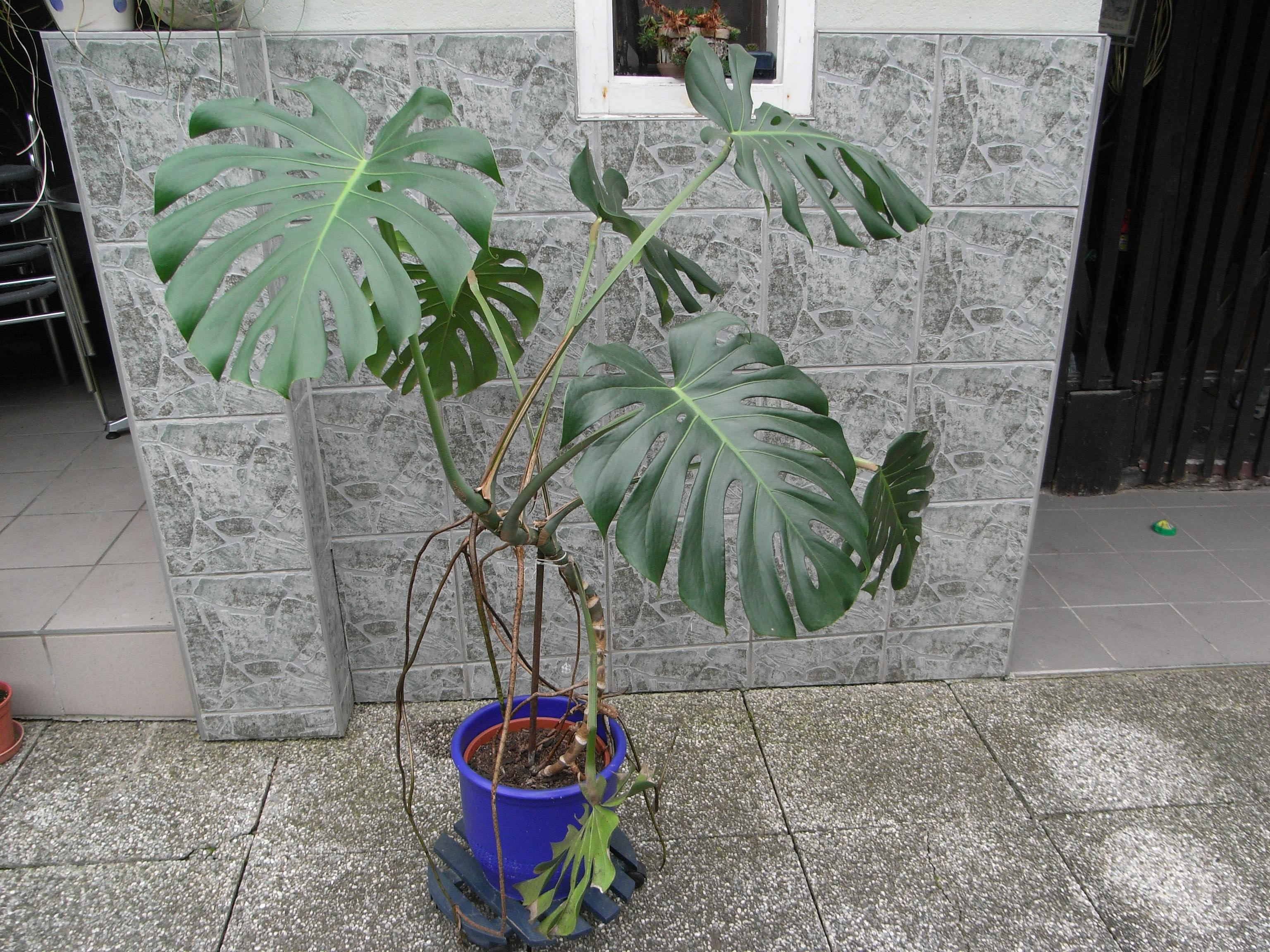 K stliches fensterblatt - Zimmerpflanze monstera ...