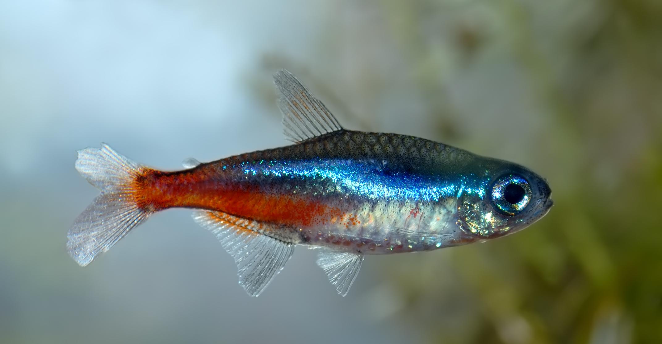 Neonfische for Tipos de peces de agua fria