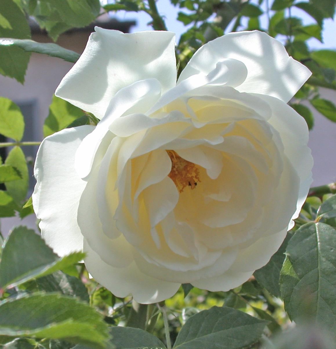 Роза плетистая iceberg 2