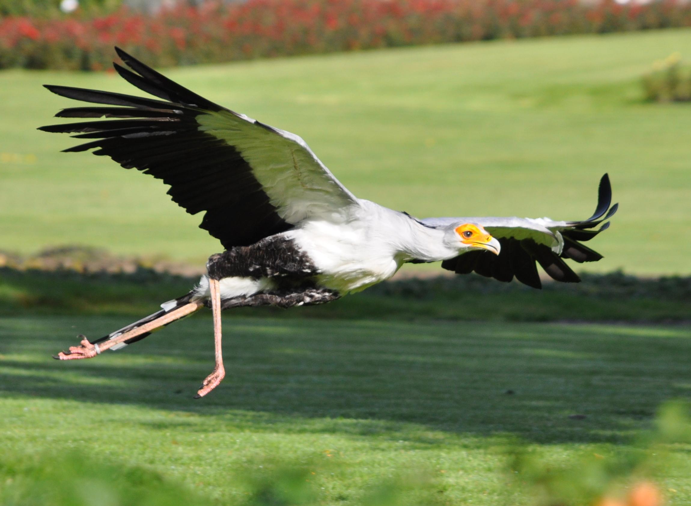 sekretär vogel tansania ~ sekretär (vogel)