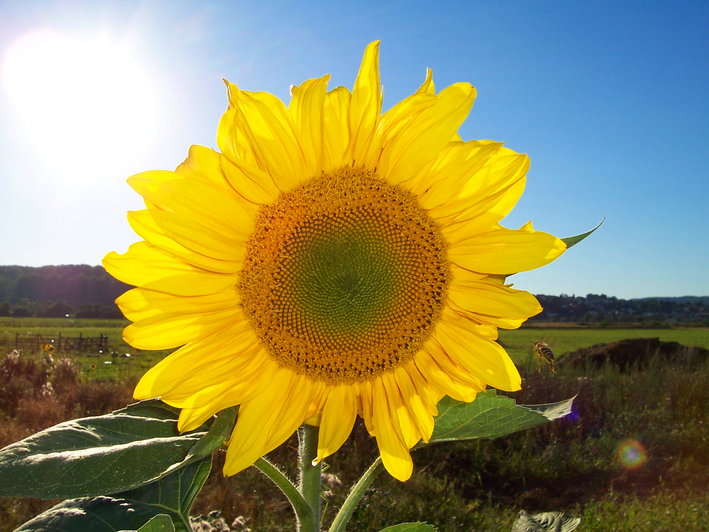 Sonnenblume for Pianta con la p