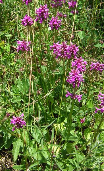 Heil-Ziest (Stachys officinalis)