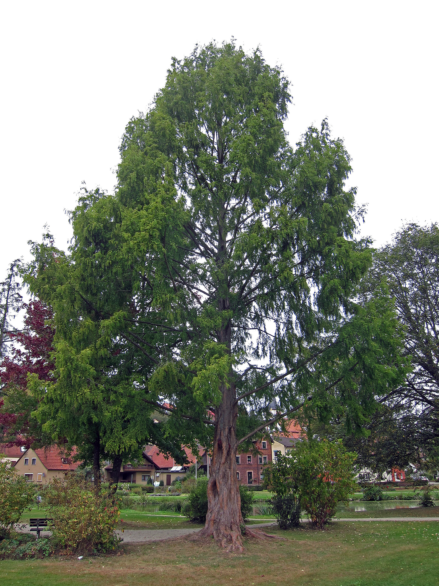 Dawn redwood tree pictures Sequoiadendron giganteum - Wikipedia