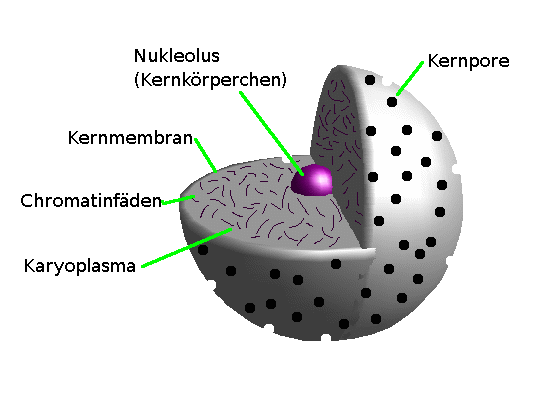 Aufbau Einer Zelle Arbeitsblatt : Zellkern