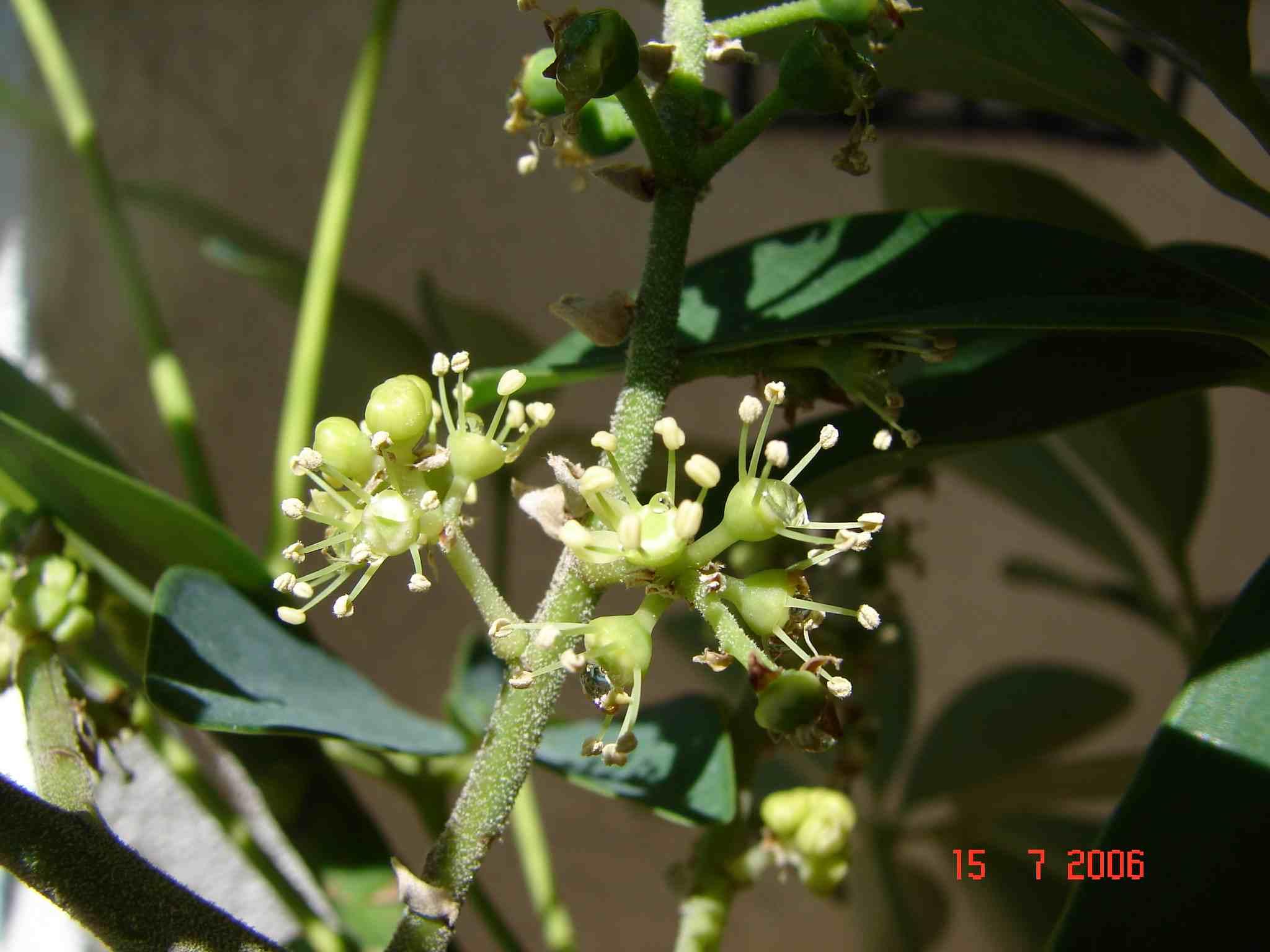 Strahlenaralie - Epiphyten zimmerpflanze ...