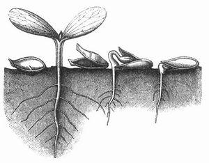 Links der ungekeimte same, weiter rechts die ausgebildete keimpflanze