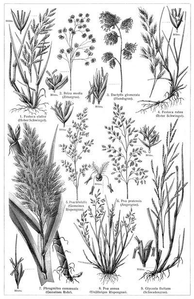 Gräser iii die beschreibung der pflanzen siehe unter den
