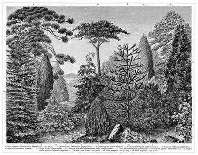 Koniferen i die beschreibung der pflanzen siehe unter den