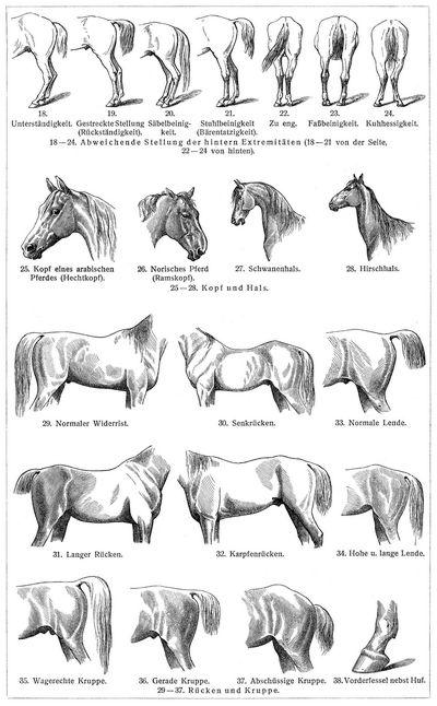 Zelter Pferd : Pferde